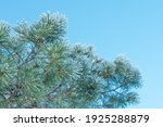Fir Tree Branch With Cones...