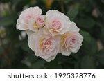 Soft Apricot Pink Shrub English ...