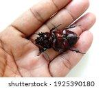 Coconut Rhinoceros Beetle Lie...