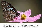Blue Tiger Butterfly Or...