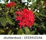 The Appearance Of Soka Flowers...