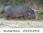 A Large Hippo Out Of Water ...