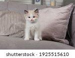A Funny Little Ragdoll Kitten...