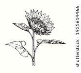 hand drawn sunflower on stem... | Shutterstock .eps vector #1925614466