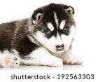 siberian husky puppy  age of 4... | Shutterstock . vector #192563303