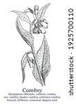 comfrey. vector hand drawn...   Shutterstock .eps vector #1925700110