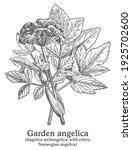 garden angelica. vector hand...   Shutterstock .eps vector #1925702600