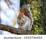 Wild Gray Squirrel Eating...