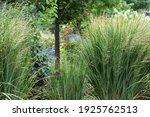 Northwind ornamental grasses ...