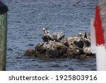 Pelicans On A Rock Breakwater