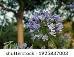 Purple Agapanthus Flower  Or...