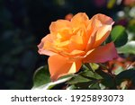Orange Rose Flower. The Name Of ...