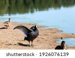Black European Coot With Black...