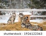 siberian husky dogs portrait in ...   Shutterstock . vector #1926122363