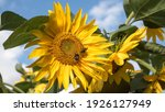 Bumblebees On A Sunflower With...