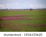 Pink Pompom Flowers Invading A...