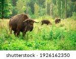 european bison in the russian...   Shutterstock . vector #1926162350