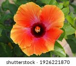 Single Orange Hibiscus Flower...