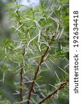 Small photo of A close up image of African Boxthorn