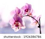 Purple orchid on the window