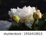 White Pink Rose Flower With...