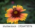 Bee On A Flower Gaillardia...