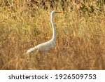 A Great White Egret Hunting In...