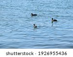 Ducks Swimming On The Surface...