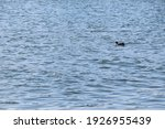 A Duck Swimming On The Surface...