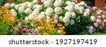 Huge Annabelle Hydrangea Bush...