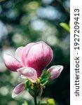 Beautiful Light Pink Magnolia...