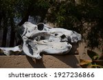 A Hippo Skull In South Africa
