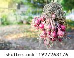 Red Onions That Bunched...