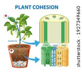 diagram showing plant cohesion... | Shutterstock .eps vector #1927349660
