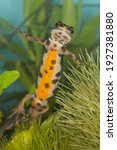 Small photo of the colorful orange belly with black dots and spotted white throat of the smooth newt is only visible from below or when they take up water, this pond dweller triturus vulgaris is underwater