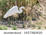 Great Egret Walking Between Dry ...