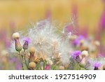 Close Up Of Spear Thistles And...