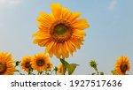 Sunflower With Blue Sky. Close...