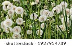 Delicate Fluffy Afterflowers Of ...