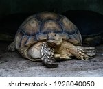 Closeup  Turtle Centrochelys...