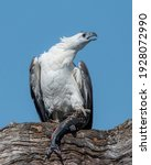A White Bellied Sea Eagle With...