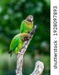 Brown Hooded Parrot ...