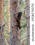 Red Squirrel On A Tree Trunk....