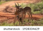 Female Impala Face Close Up....