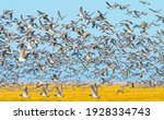 Flock of geese flying in a...