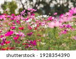 Pink And White Cosmos Flowers...