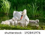 Swan And Its Babies.