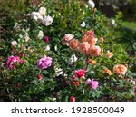 English Roses Of Different...