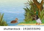 A Pair Of Mallard Ducks Swim In ...
