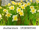 Fresh Daffodil Flowers In The...